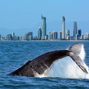 Whale-Watching-Golad-coast
